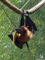 Flying Fox Bat at Oakland Zoo